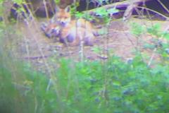 Windisch junge Füchse vor dem Fuchsbau trockener Hasenteich