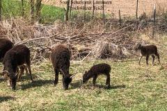 Windischleuba Soay Schafe mit Lämmern Poschwitzer Teich
