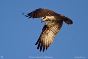 Foto eines Fischadler am Schafteich (von Bärbel Franzke)