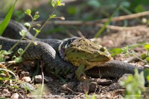 Ringelnatter versucht Grünfrosch zu verschlingen an den Wilchwitzer Teichen